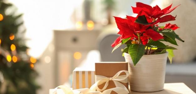 Vianočná ruža: Máte ju doma? POZOR!