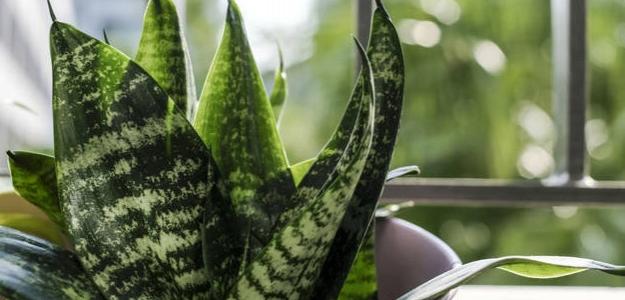 Tieto rastliny by ste mali mať doma. Vyčistia vzduch v domácnosti